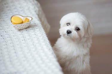 Maltese dog-stock photo