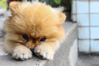 pom pom was waiting for his owner