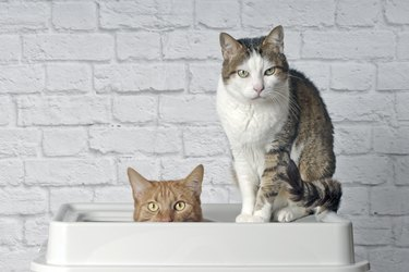 Funny ginger cat sitting in a top entry litter box beside a tabby cat and looking curious to the camera.