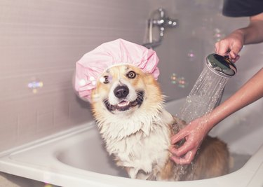 Corgi dog in a rubber cap in the bathroom with foam and soap bubbles smiling pretty standing under the shower jets