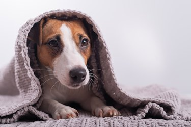 A cute little dog lies covered with a gray plaid. The muzzle of a Jack Russell Terrier sticks out from under the blanket