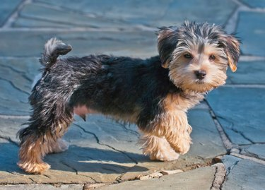 Morky The Morkie - RP, This Is For You