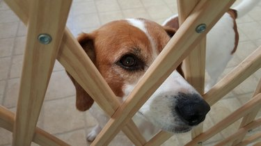 Close-Up Portrait Of Beagle Dog Looking Through Safety Gate