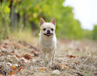 little chihuahua on a nature trail
