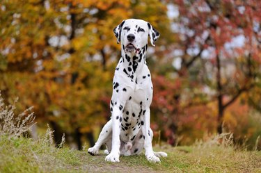 Dalmatian dog sitting in the autumn forest