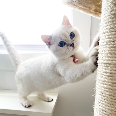 White cat with blue eyes scratching a brown post.