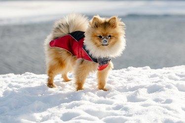dog Pomeranian walking on snowy street