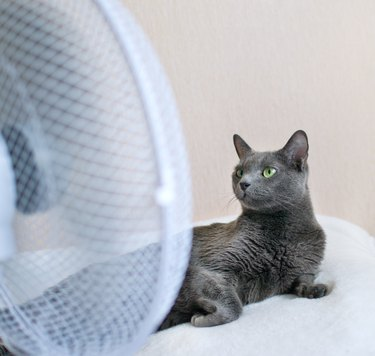 Russian blue cat is lying on the bed in front of ventilator