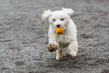 dog running with muddy paws