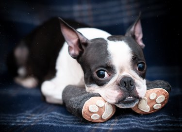 Funny serious dog Boston Terrier in cozy warm handmade boots on the sofa at home. Going for a walk, it's cold outside.