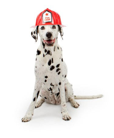 Dalmation Dog Wearing A Red Fireman Hat