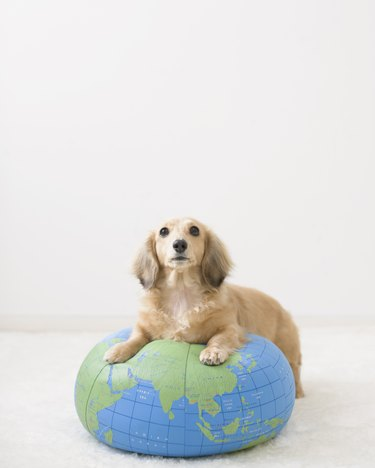 Miniature Dachshund Sitting On Globe Cushion