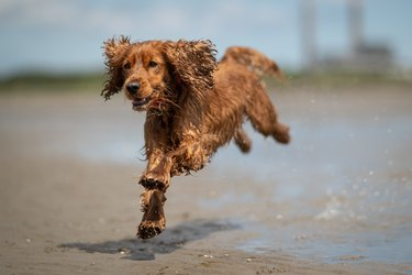 Wet Cocker Spaniel dog in motion, on a sandy beach, covered in water
