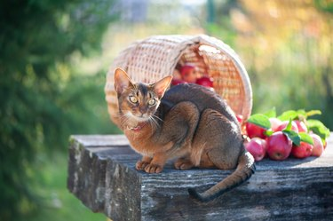 Нarvest of apples in a basket and a very beautiful Abyssinian cat.  Autumn atmosphere