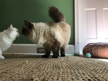 Two Ragdoll Cats Touching Noses
