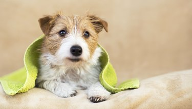 Pet grooming concept, furry happy dog puppy with towel