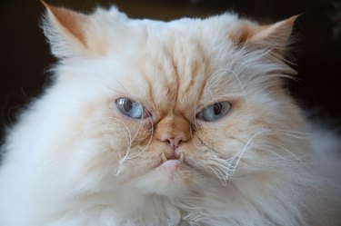 grumpy fluffy looking cat with blue eyes closeup