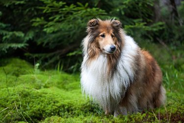 Gold rough collie standing at a forest