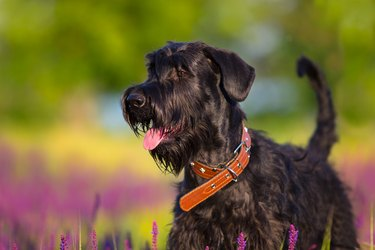 Schnauzer dog portrait in flowers