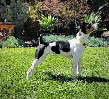 Rat Terrier standing on green grass
