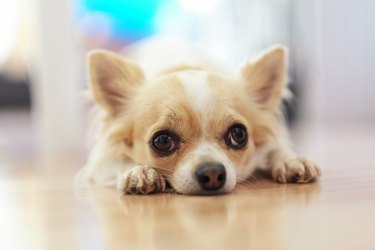 Small Chihuahua dog with a white and beige color on the floor. Lonely dog.