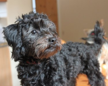 Close up of a Black Yorkie Poo