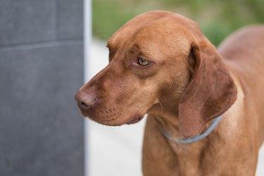 Portratit Of Hungarian Vizsla Dog,Profile Shot Of Magyar Vizsla With Blue Collar