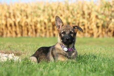 Portrait Of German Shepherd Puppy Sitting On Grassy Field
