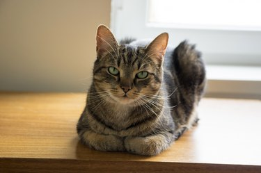 Tomcat lying on wooden table with serious expression, eye contact