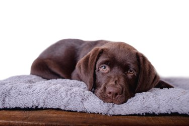 Portrait Labrador puppy on isolated white background.