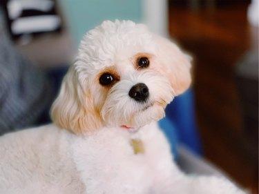 Cavachon small white dog looking at camera