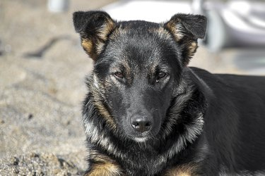 A black sheepdog puppy lies on the sand. A sunny autumn day is a front view.