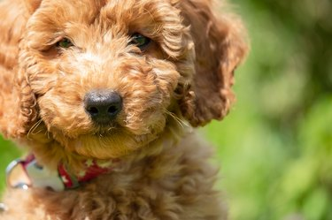 Young apricot coloured miniature poodle puppy seen at 8 weeks old.