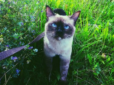High Angle Portrait Of Balinese Cat Walking Amidst Grassy Field
