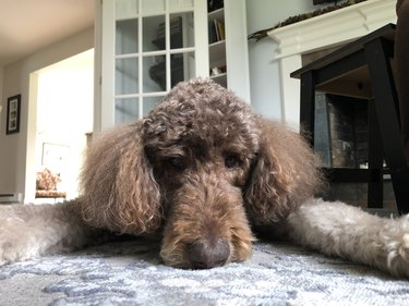 Close up of a brown poodle