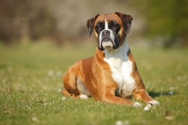 Portrait of German Boxer lying on a meadow