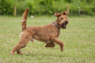 Running Irish Terrier!