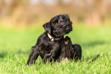 standard schnauzer puppy scratches himself behind the ear