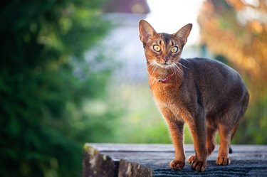 Portrait of a very beautiful Abyssinian cat in nature. Space for text