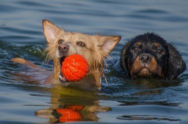 Two dogs swimming in the sea and playing with a ball