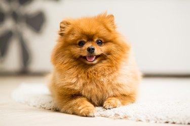 Pomeranian lies on the carpet