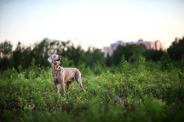 Big grey dog strolling at green beautiful meadow