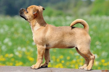 A small brown puppy