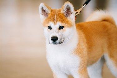 An Akita dog