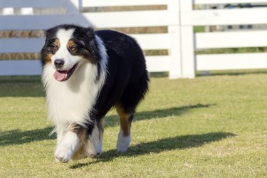 A long-haired black, white, and brown dog in grass.
