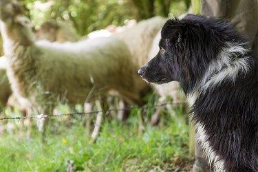 Black collie guarding sheep