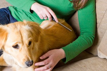 Woman in green shirt combing a golden Lab puppy