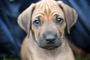 Close up of a brown puppy