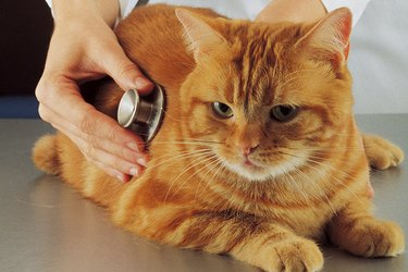 Checking the heart beat of an orange cat at the vet