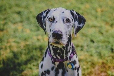 Portrait of a sitting Dalmatian dog on green grass.